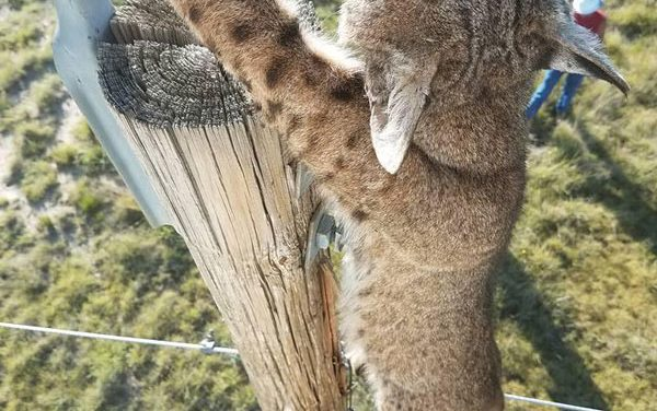 Kansas Bobcat Takes a Bite Out of Power Line