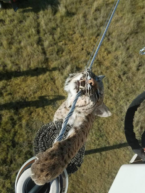 bobcat-on-power-lines-kansas