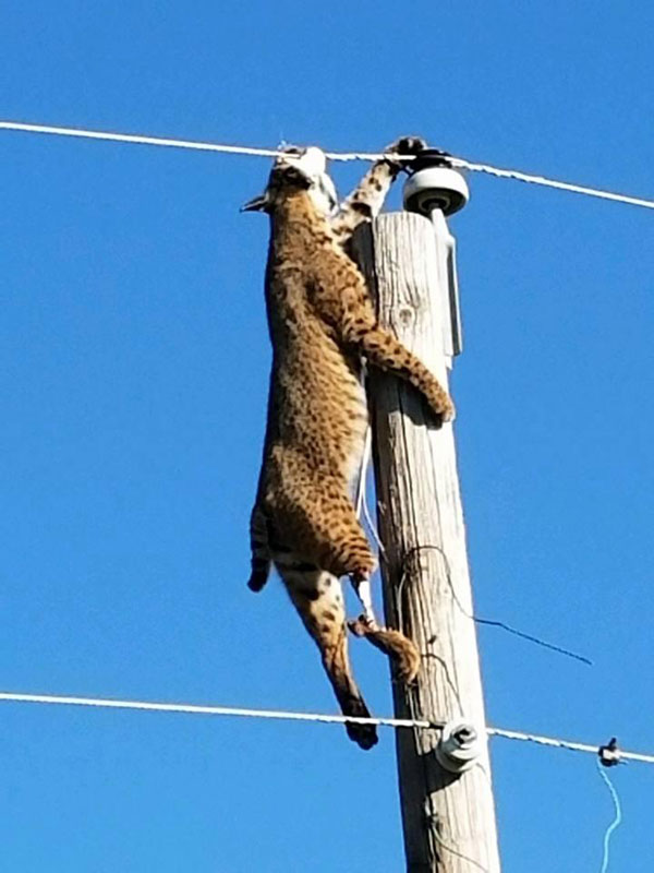 bobcat-on-power-lines