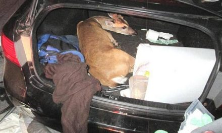 One of the Illegally Captured Endangered Florida Deer is Euthanized