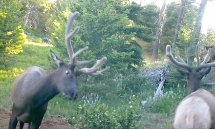 Young Bull Elk Gather in Secret Location to Spar
