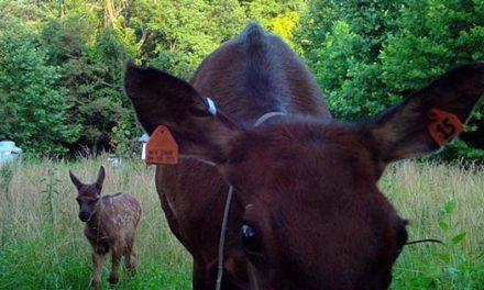 First Elk Born in West Virginia in 150 Years