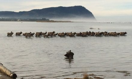 Coyote Urine and Decoys Not Enough to Keep Elk off Oregon Golf Course