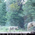 California Officials Confirm New Wolf Pack