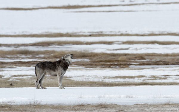 Idaho Considers Allowing Hunters to Bait Wolves