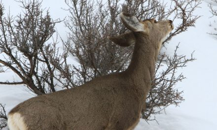 Idaho Winter Kill Less Than Expected for Mule Deer, Elk