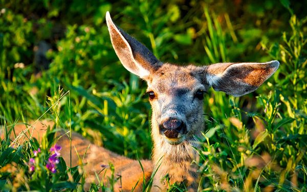 Pregnant Mule Deer Found Shot, Arizona Officials Offer Reward
