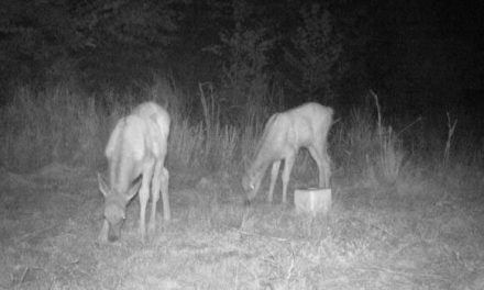 Trail Camera Captures Second Elk Calf Born in West Virginia