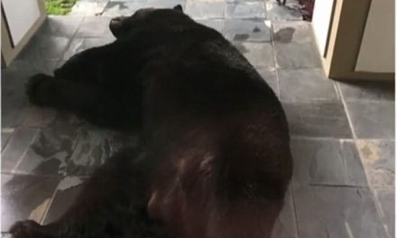 Massive Black Bear Found Slumbering on Florida Couple's Doorstep