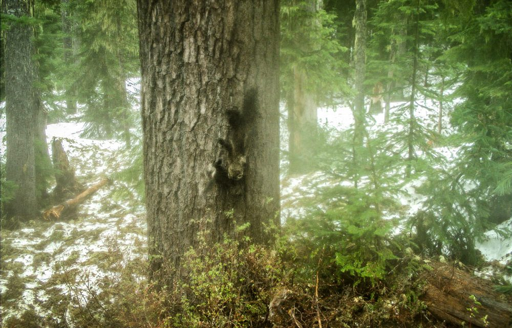 Trail cameras show first evidence of fishers born in Washington's South Cascades