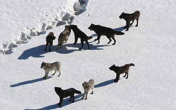 Washington officials to take lethal action to change wolf pack's behavior