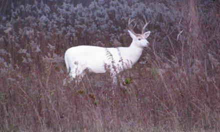 The Largest Herd of White Deer in the World Set to Be on Display