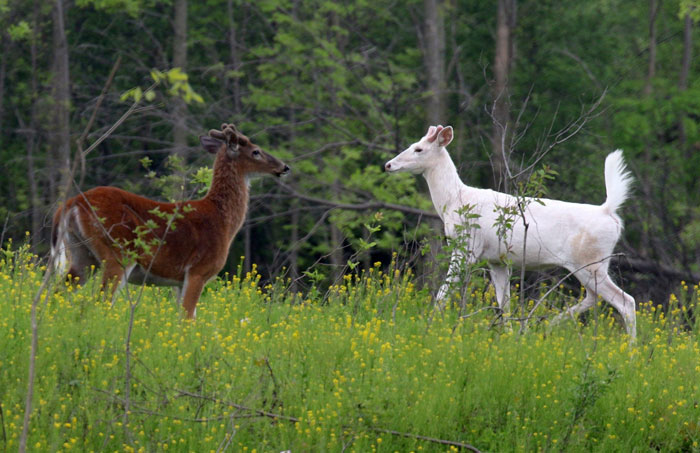 white-deer-buck-and-whitetail-buck