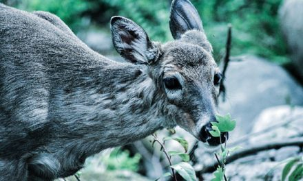 Pennsylvania Officials Testing Pair of Suspicious Deer for CWD