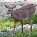 Free Ranging Deer Tests Positive for Chronic Wasting Disease in PA
