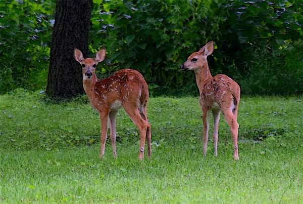Wisconsin's CWD, Deer and Predator Study Completes Collaring Phase