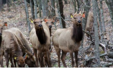 Wisconsin DNR Sets 31 Elk Free in Flambeau River State Forest