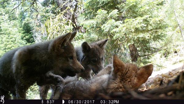 wolf-pups-playing
