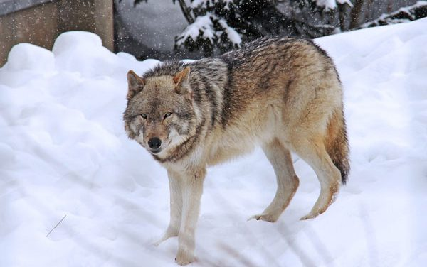 Wolves Kill Record Number of Livestock in Wyoming