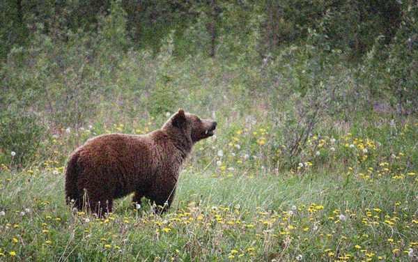 BC Man Bare-Knuckles Attacking Grizz