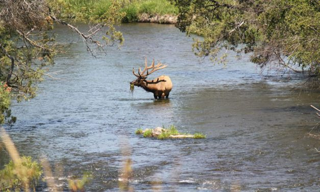 Alaska Elk Study to Aims to Balance Game Management and Logging