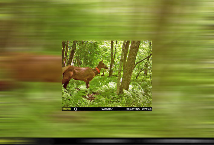 Wisconsin Elk Migrates Over 100 Miles