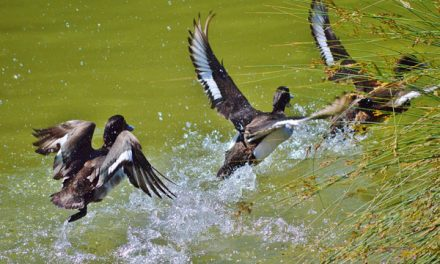 North Dakota Drought Conditions Tough on Ducks