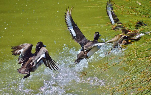North Dakota Drought Conditions Tough on Ducks