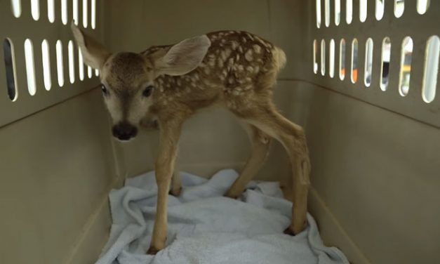3-Day-Old Fawn Kidnapped, Brought to Bar