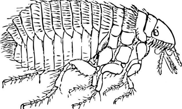 Arizona Fleas Test Positive for Plague