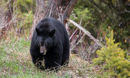 Idaho Jogger Fends of Black Bear with Swift Kick