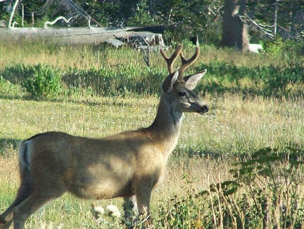 Kansas' Most Comprehensive Deer Study is Underway
