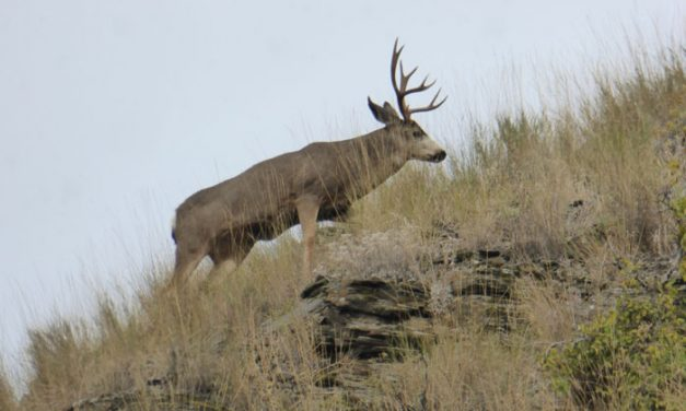 Idaho Fish and Game Predicts Lower Mule Deer Harvest in 2017