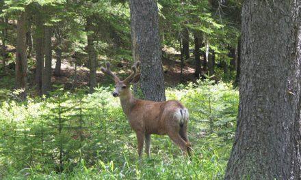 Despite Tough Winter, Montana's Deer Populations Above Average