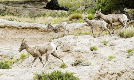 21 Collared Nebraska Bighorn Lambs Succumb to Disease