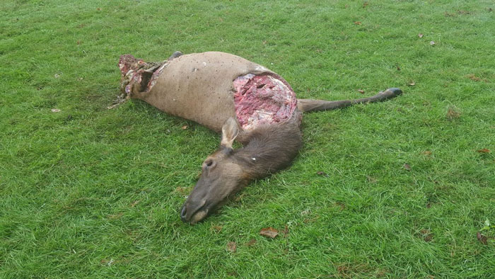 Oregon Officials Looking for Poachers Who Illegally Killed Cow Elk