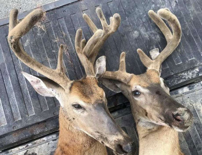 Michigan DNR Investigating the Poaching of Two Bucks
