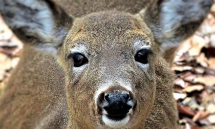 EHD Suspected in Dead Deer in Pennsylvania and Kentucky