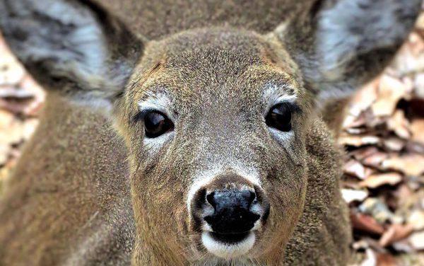 EHD Suspected in Dead Deer in Pennsylvania and Kentucky