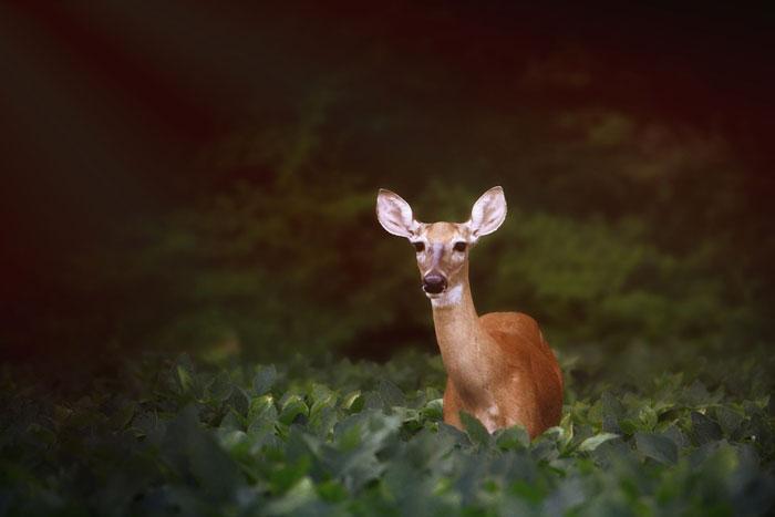 Pair of Ontario Men Fined for Illegal Deer Hunt