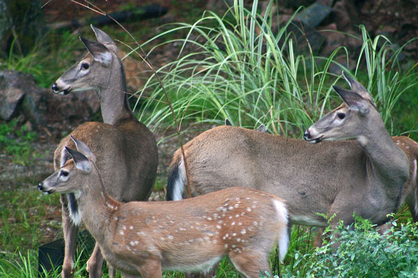 Above Average Reports of EHD Among Tennessee's Deer Population