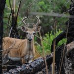 The Little Deer That Could:  Key Deer Seem to Have Survived Another Catastrophe