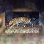 Arizona Game & Fish:  Jaguar in Chiricahua Mountains Video is Male
