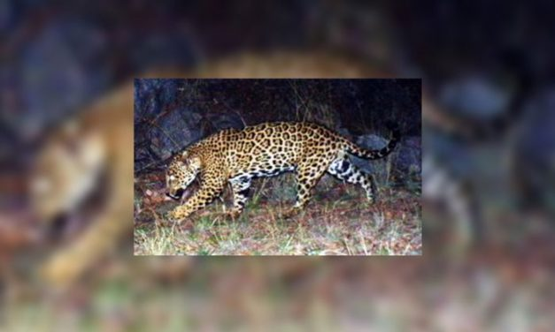 Arizona Game & Fish:  Jaguar in Chiricahua Mountains Video is Male