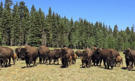 National Park Service Seeking Volunteers to Reduce Grand Canyon Bison Herd