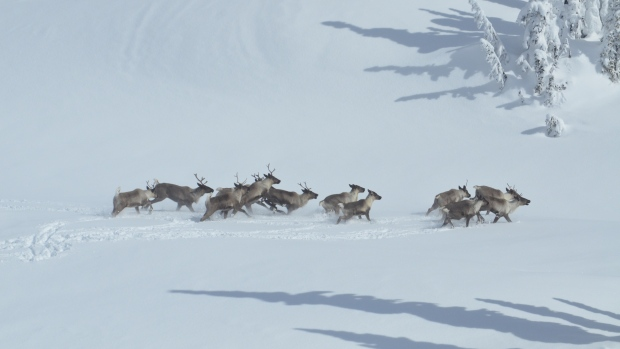 University Researcher Suggests Hunting Would Help BC's Ailing Caribou