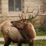 Two Women Hospitalized, Elk Euthanized After Attack