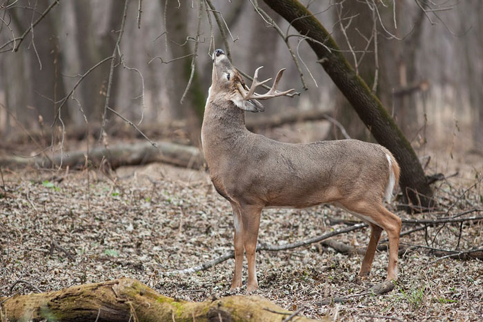 NY Man Attacked by Rabid Deer in his Backyard