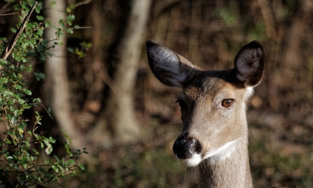 Rare Case of Rabies in Whitetail Deer Found in North Carolina