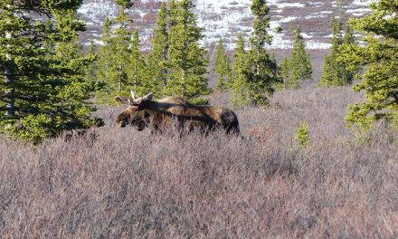 Fired Up Moose Attacks Hunter Who Shot Him Twice